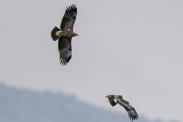 Greater Spotted Eagles by Bryan Thomas©