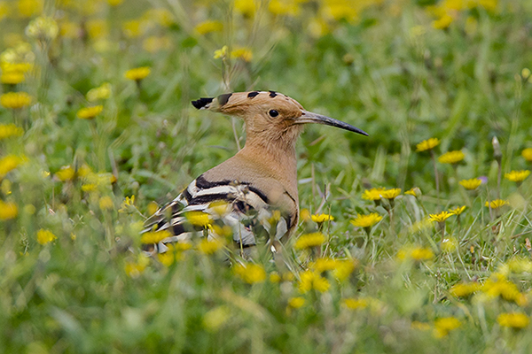 Hoopoe by Bryan Thomas©