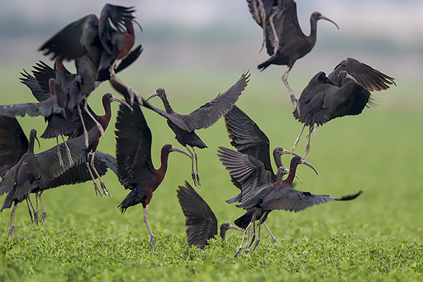 Glossy Ibis by Bryan Thomas©
