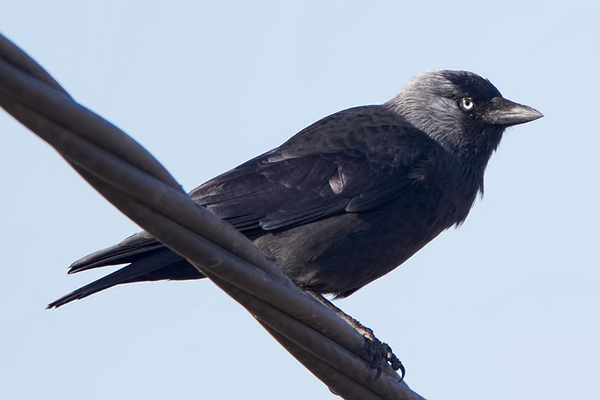 Jackdaw by Bryan Thomas©