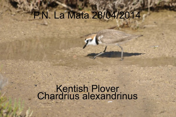 Kentish Plover by Rod Loveday©