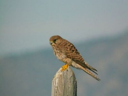 Kestrel/Lesser Kestrel (f) by Mike Smith©