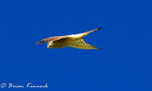 Kestrel by Brian Kinnock©