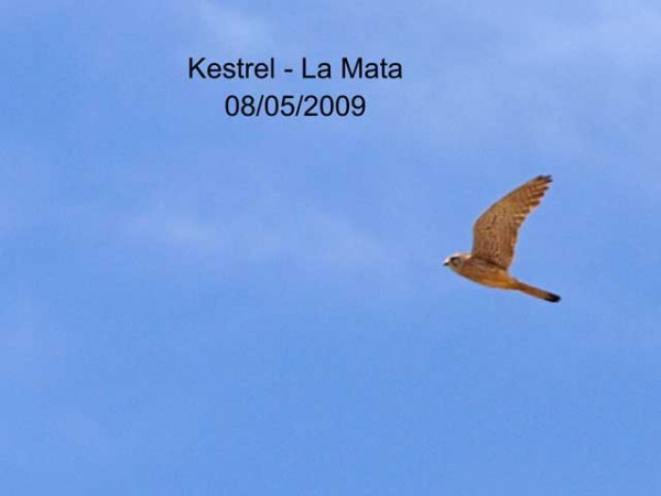 Kestrel by Rod Loveday©