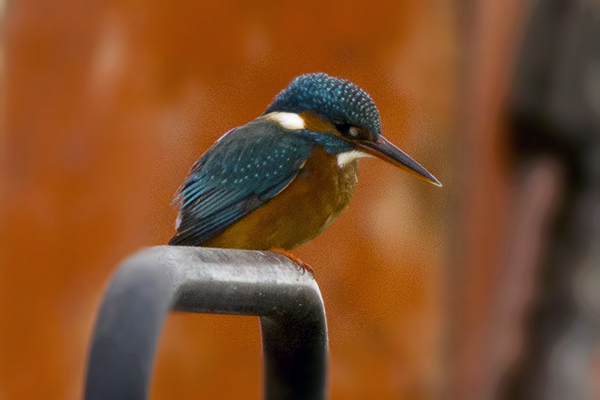 Kingfisher by Bryan Thomas©