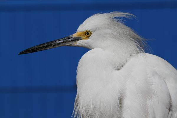 Little Egret by Brian Kinnock©