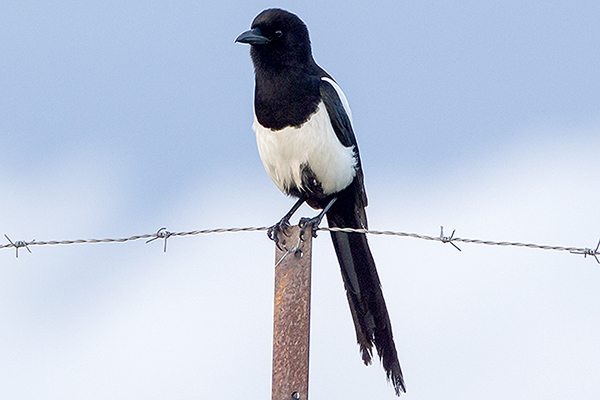 Magpie by Bryan Thomas©
