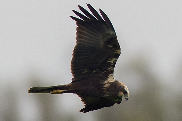 Marsh Harrier by Bryan Thomas©