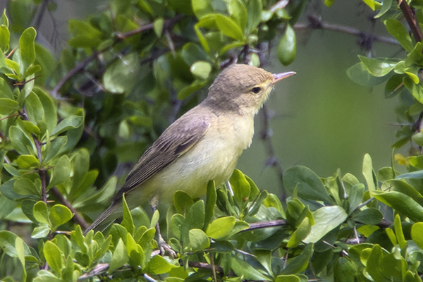 Melodious Warbler by Bryan Thomas©