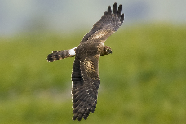Montagu's Harrier (f) by Bryan Thomas©