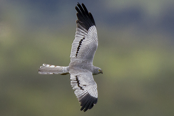 Montagu's Harrier (m) by Bryan Thomas©