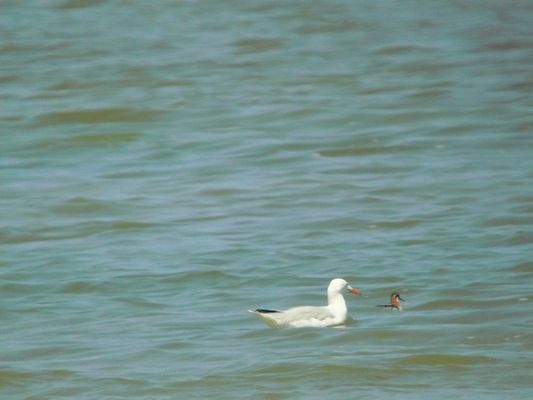Red necked Phalarope and Slender billed Gull