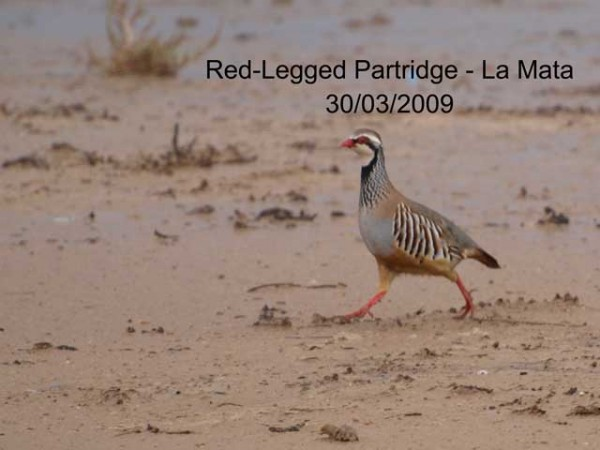 Red legged Partridge by Rod Loveday©