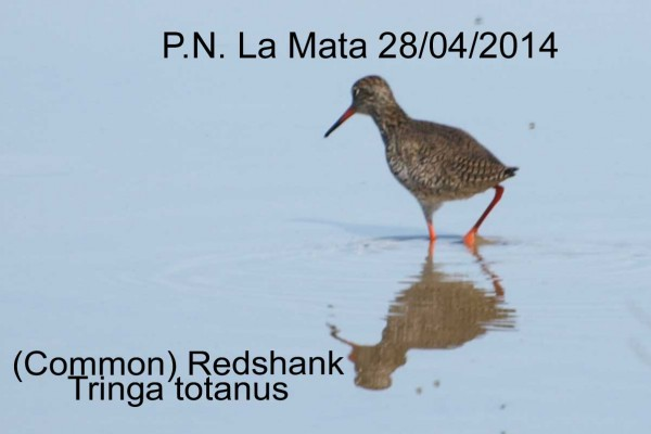 Redshank by Rod Loveday©