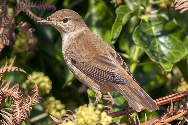 Reed Warbler by Bryan Thomas©