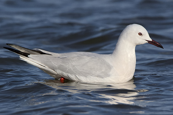 Slender billed Gull by Bryan Thomas©