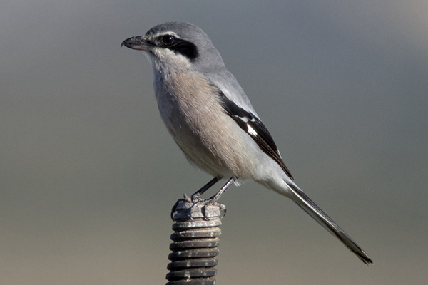 Southern Grey Shrike by Bryan Thomas©