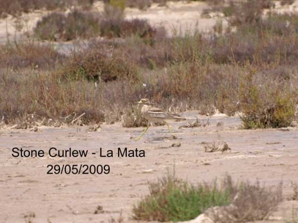 Stone Curlew by Rod Loveday©