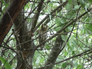 Striated Scops Owl