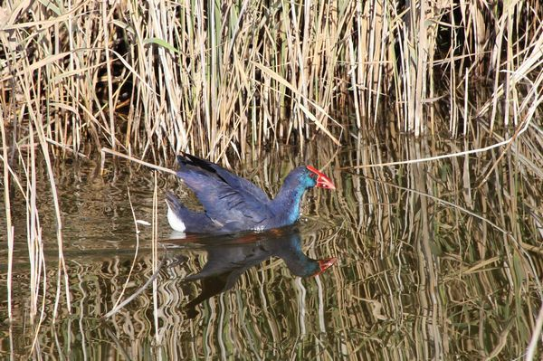 Purple Swamphen by Greta Owen©