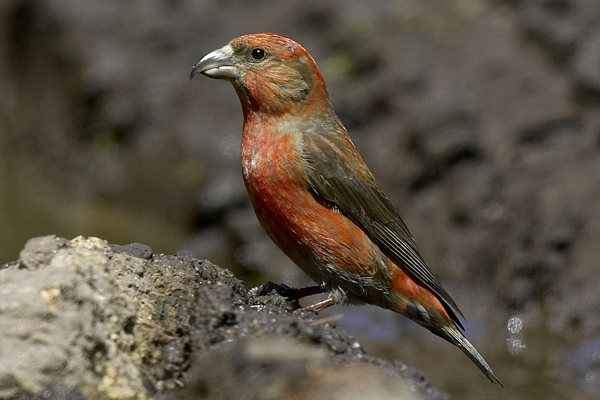 Crossbill by Bryan Thomas©