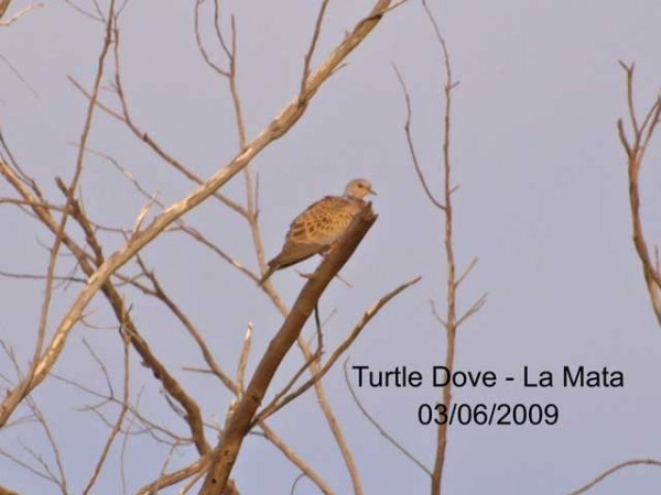 Turtle Dove by Rod Loveday©