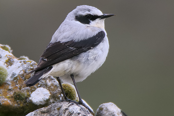 Wheatear by Bryan Thomas©