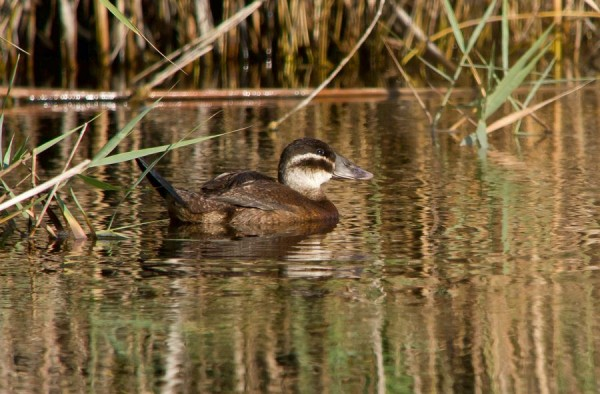 White headed Duck by Justin Carr©