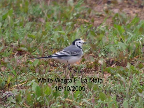 White Wagtail by Rod Loveday©