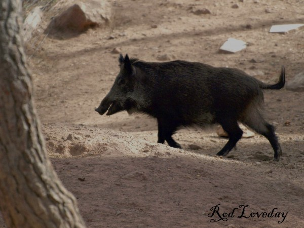 Wild Boar by Rod Loveday©