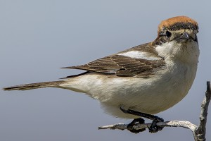 Woodchat Shrike by Bryan Thomas©