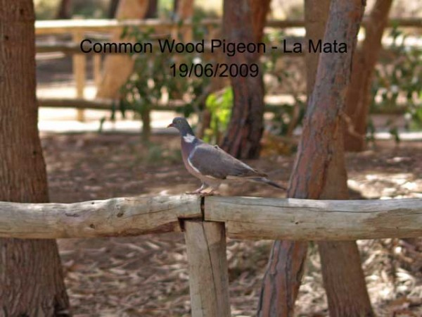 Woodpigeon by Rod Loveday©