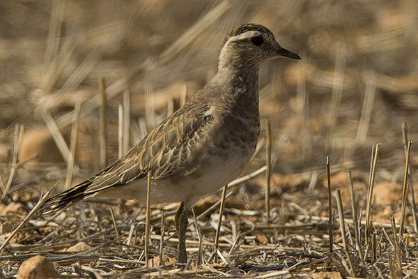 Dotterel by Bryan Thomas©