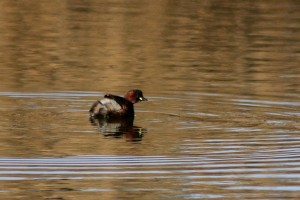 Little Grebe by Mary Brazier