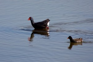 Purple Swamphen and Moorhen by Mary Brazier©