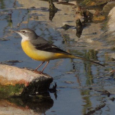 Yellow Wagtail by Dave Eddy©