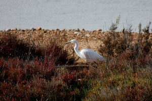 Little Egret by Mary Brazier