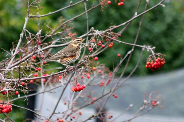 Redwing by Mary Brazier©