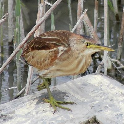 Little Bittern by Mary Brazier©
