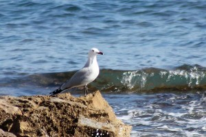 Audouin's Gull by Mary Brazier©