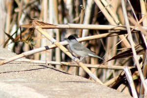 Blackcap by Mary Brazier©