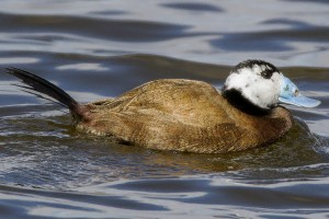 White Headed Duck by Bryan Thomas©