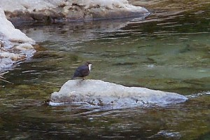 Dipper by Dave Lawrence©