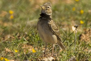 Calandra Lark by Bryan Thomas©