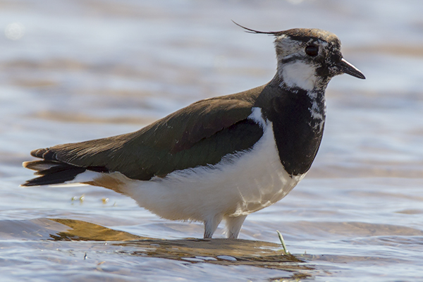 Lapwing by Bryan Thomas©