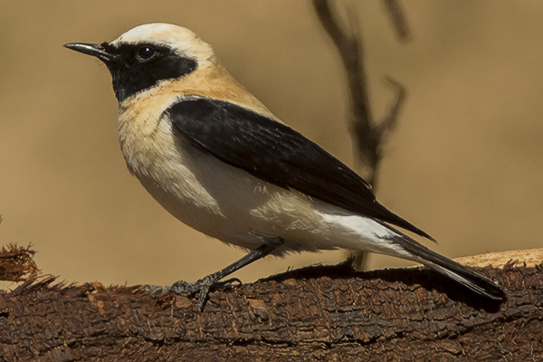 Black eared Wheatear by Bryan Thomas©