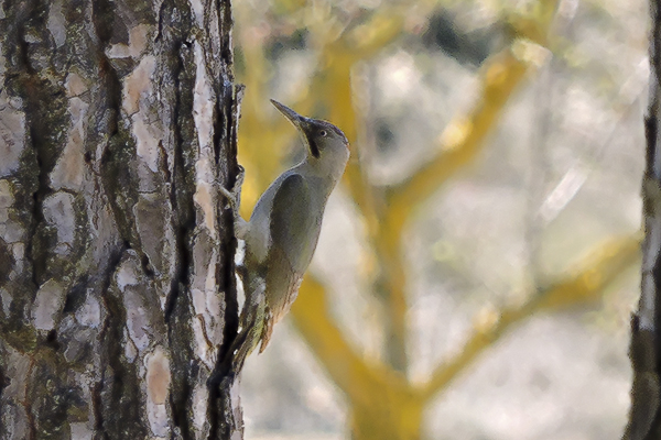 Green Woodpecker by Bryan Thomas©