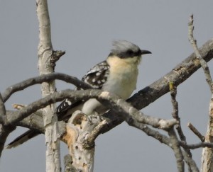 Great Spotted Cuckoo by Barry Chambers©