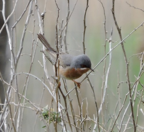 Subalpine Warbler by Barry Chambers©