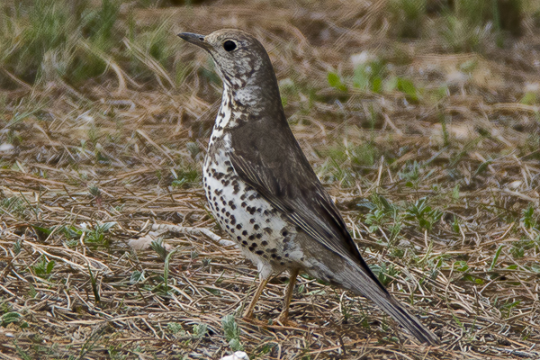Mistle Thrush by Bryan Thomas©